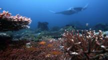Reveal As Manta Rays Pass Over Coral Reef