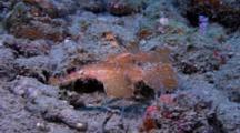 Roughsnout Ghost Pipefish (Sclenosstomus Paegnius)