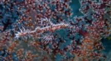 Ornate Ghost Pipefish Near Soft Coral (Solenostomus Paradoxus)
