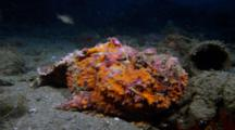 Reef Stonefish (Synanceia Verucosa)