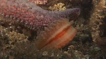 Swimming Scallops Escape From Sun Star
