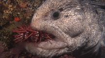 Wolf Eel Feeding On Sea Urchin