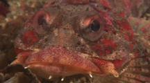 Irish Lord Feeding On Crab