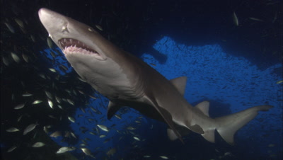 Sand Tiger Shark On Shipwreck