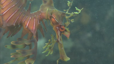 Leafy Sea Dragon, Close-Up Of Face