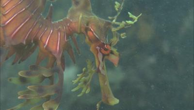Leafy Sea Dragon, Close-Up Of Face