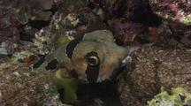 Porcupine Pufferfish Hides In Reef