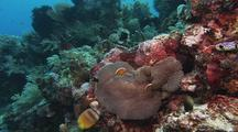 Skunk Anemonefish On Coral Reef