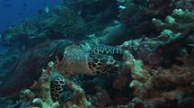 Hawksbill Turtle Feeding On Sponges