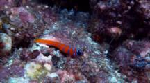 Catalina Goby on rocky reef
