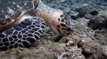 Hawksbill Turtle Feeds On Corallimorphia Anemones