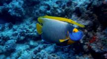 Blue-Face Angelfish Shadowed By Trumpetfish