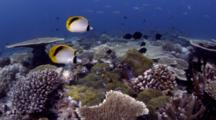 Pig-Face Butterflyfish (Chaetodon Oxycephalus) Feed On Anemone Guarded By Blackfoot Anemonefish (Ammphiprion Nigripes)