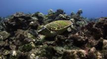 Hawksbill Turtle Feeds On Algae At Cocos Island