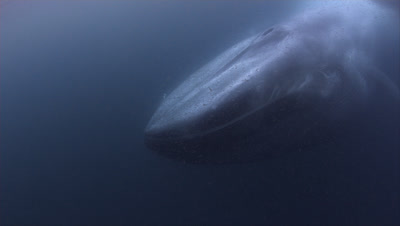 Blue Whale Swims By Filtering out Krill