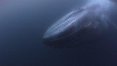 Blue Whale Feeding  Stock Footage