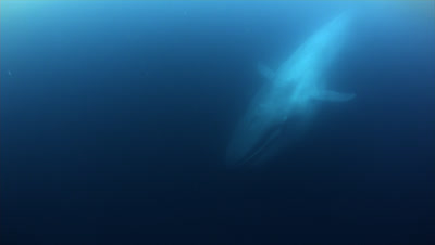 Blue Whale Swims By After Eating Krill