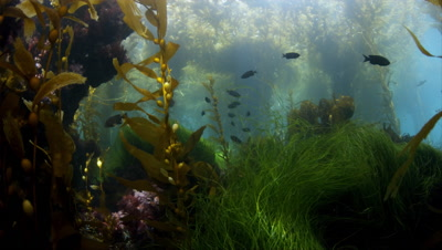 Kelp Forest And Surf Grass At California Channel Islands
