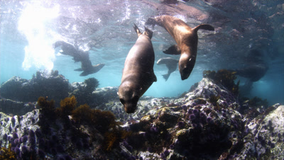 Sea Lions Near San Diego California