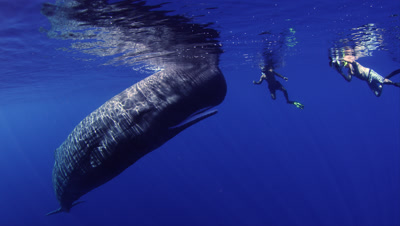 Snorkelers Close To Sperm Whales