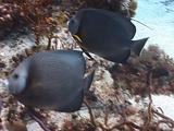 Pair Of Pretty Grey Angelfish Travel Together Along The Reef.