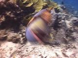 Titan Triggerfish Attacks Camera