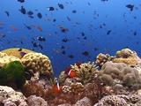 Colorful Coral Reef Scenic, Anemonefish