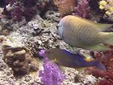 Slingjaw Wrasse And Goldsaddle Goatfish Hunting Together