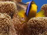 Orange-Fin Anemonefish ( Clownfish ) Living In Host Carpet Anemone