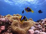Pair Of Orange-Fin Anemonefish ( Clownfish ) In A Carpet Anemone