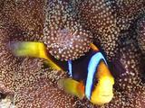 Orange-Fin Anemonefish Hides In His Carpet Anemone