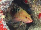 Saddle Rock Cod Hides In Cave, Looks At Camera