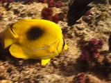 Bennet's Butterflyfish Feeding, Exits Frame