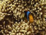 Orange-Fin Anemonefish ( Clownfish ) Hides In Host Anenome