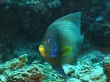 Blue Angelfish Circles, Looks To Camera, Then Turns Away; Small Commensal Fish Visible