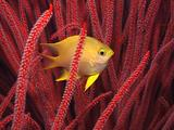 Colouful Composition: Small Golden Damselfish Plays Hide-And-Seek In Red Sea Whips