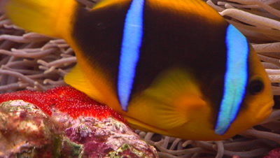Close Shot Of Male And Female Orangefin Anemonefish Tending Their Bright Red Eggs.