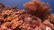 Wide Shot Of Orange Fin Anemonefish Returning To Its Nest To Tend To Eggs.