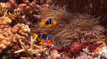 Medium Shot Of Orange Fin Anemonefish Returning To Its Nest To Tend To Eggs.