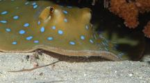 Close Shot Of A Blue Spotted Lagoon Ray Hiding Under A Ledge And Feeding.