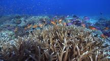 Swimover Across Very Healthy Hard Coral Garden With Table And Staghorn Corals And Schooling Fish.