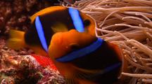 Close Shot Of Male And Female Orange Fin Anemonefish Clownfish Tending Eggs.