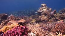 Swimover Across Diverse And Healthy Hard Coral Gardens, With Plate, Table, Brain And Staghorn Corals