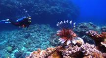 Close Focus Wide Angle Showing Beautiful Lionfish Swimming With Diver Behind Looking At It.