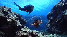 Diver Swimming Behind Pretty Lionfish As It Cruises Over The Reef.