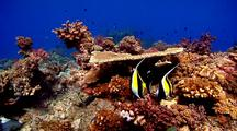 Three Moorish Idols And Other Reef Fish Feeding Around Hard Corals On Healthy Reef