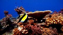 Moorish Idol Feeding On Healthy Hard Coral Garden.