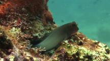 Redlip Blenny On Reef