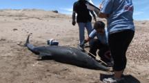 Necropsy Of Common Dolphin On Peru Coast