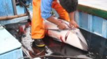 Butchering Dolphin For Shark Bait On Deck